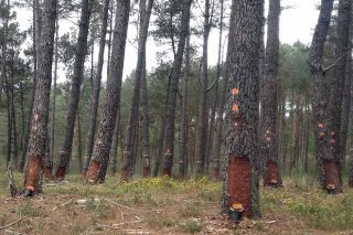 Lourizán sondea el interés de la industria farmacéutica por la resina del pino