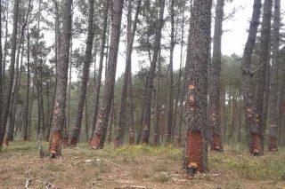 Curso sobre la gestión integral de los pinos