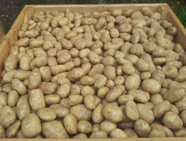 La polilla de la patata entra en Bergantiños, una de las principales comarcas de produción