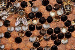 Claves para identificar y tratar las enfermedades de las abejas
