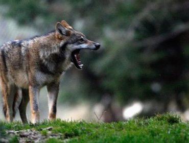«Deben reforzarse las ayudas de prevención del lobo, el coste de la convivencia no puede recaer en los ganaderos»