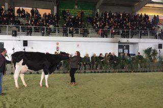 Media de 2.596 euros por animal en la Subasta de Ganado Frisón de Santa Comba