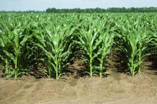 Siembra del maíz en convencional y en doble fila: comparativa de resultados