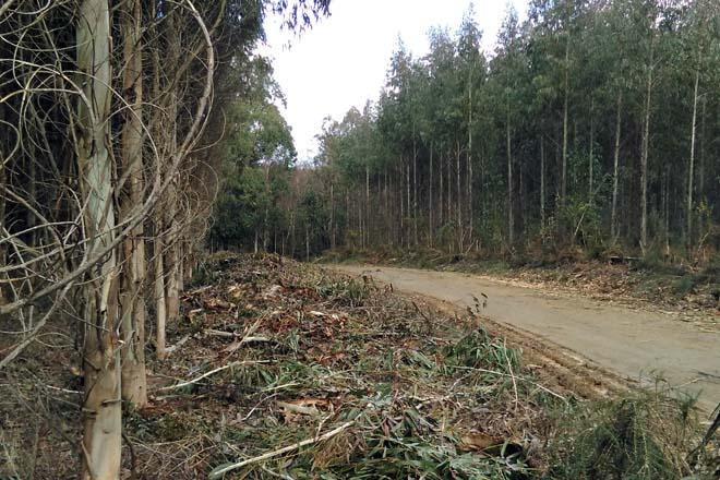 Podrá plantarse eucalipto nitens en el interior de Lugo en tanto no se regule la suspensión temporal