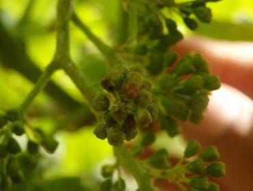 Ponen en marcha un proyecto para mejorar la predicción de enfermedades fúngicas en el viñedo