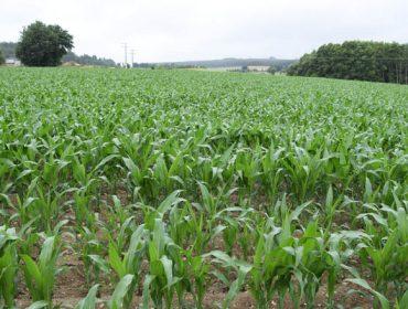 El seguro de maíz puede contratarse hasta el 5 de mayo
