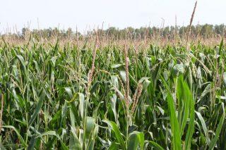 Los abonos  ENTEC®: ¿Por qué proporcionan mayor productividad y mejor calidad en maíz?