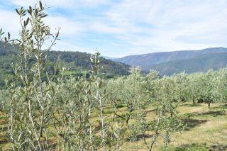 Curso sobre la poda en verde del olivo