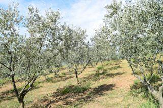 Curso de cultivo y poda del olivo gallego en A Estrada
