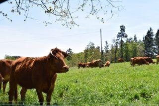 Curso en Coristanco de iniciación y mejora de la ganadería de vacuno de carne