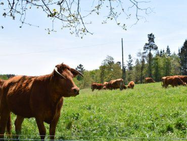 Unións aboga por nuevas ayudas Covid para las granjas profesionales de vacuno de carne