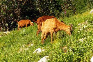 ¿Qué manejo hacer para mejorar la productividad en las ganaderías de caprino?