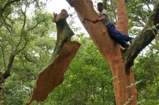 Los alcornoques del Arnego, un aprovechamiento forestal singular