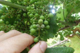 Máxima alerta en el viñedo ante el riesgo de Mildiu