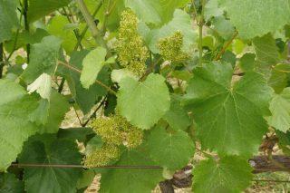 Areeiro recomienda mantener la máxima vigilancia del mildio en el viñedo