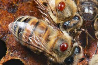 Fallos más comunes en los tratamientos contra la varroa y uso de ácido oxálico