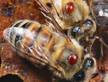 Webinar sobre alternativas a los tratamientos convencionales contra la varroa en apicultura