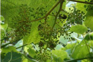 Cuidados del viñedo durante los próximos días: poda en verde, controlar la hierba y el oídio