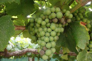 Recomiendan comenzar tratar contra la botritys en los viñedos antes de que cierren los racimos