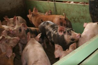 Bajada en el precio del cerdo cebado en Silleda