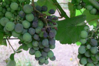 ¿Cuales son las variedades españolas de vid más resistentes al mildiu?