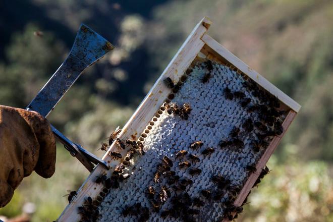 La cosecha de miel se reduce, afectada por la sequía estival y las lluvias de primavera