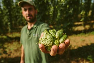 Comienza en Betanzos la cosecha de la flor del lúpulo para elaborar cerveza