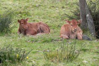 Claves de las futuras Organizaciones de Productores de vacuno de carne