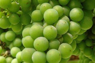 Recomendaciones fitosanitarias para el viñedo