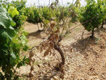 Guía para identificar las enfermedades de la madera en viñedo