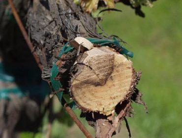 Últimos avances en prevención y control de enfermedades de la madera en viñedo