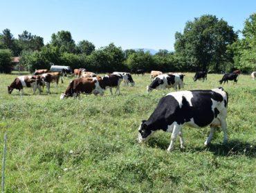 El vacuno de leche, próximo reto para reducir el consumo de antibióticos
