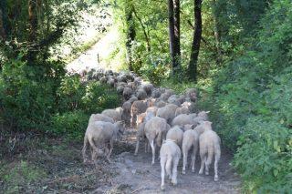 Ganadería ovina y caprina, un sector en retroceso en Galicia, pero con gran potencial