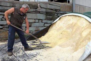 Grano húmedo y pastone: dos alternativas para abaratar la alimentación del ganado