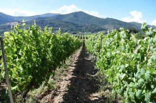 Areeiro recomienda renovar tratamientos en las viñas de manera puntual