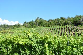 Curso gratuito de técnicas de cultivo de la viña en Galicia