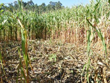 Unións insta a los tecores a hacer acechos para el control del jabalí ante los primeros daños en el maíz