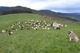 Un total de 225 granjas de ovino y caprino gallegas recibirán ayudas por la Covid