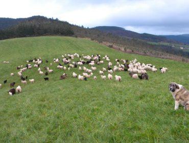 Critican la «pésima gestión» de la Consellería de Medio Ambiente en la defensa de los ganaderos frente al lobo