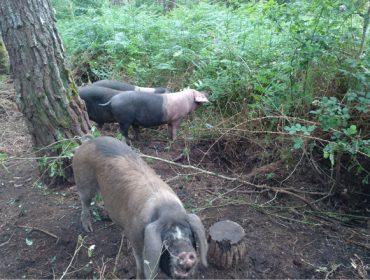 Beneficios del silvopastoreo con Cerdo Celta