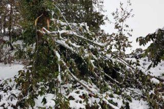Pérdidas en los castaños de la montaña lucense por las nevadas