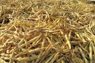 Jornada sobre semillas y técnicas de cultivo de la Faba de Lourenzá