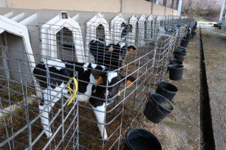 Las cooperativas no descartan volver a comercializar terneros si los tratantes no dan salida al ganado de las explotaciones