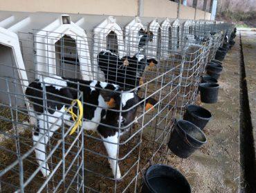 MSD  Animal Health celebra dos webinars de vacuno de leche los días 2 y 9 de julio