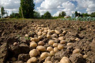 ADEGAL defiende el efecto positivo que tuvo Mercaproximidade para los productores de patata de A Limia