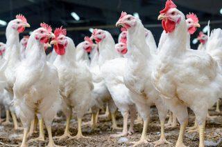 Coronavirus: El sector avícola reorganiza sus ventas y garantiza el suministro de huevos y carne
