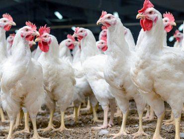 Calculan que cada granja de pollos perderá unos 5300 euros a causa de la crisis del Covid 19