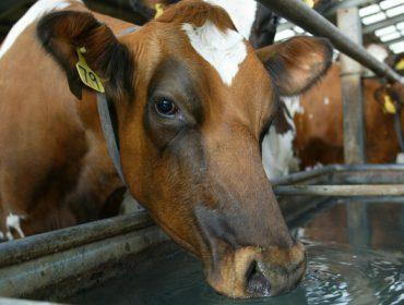 ¿Qué se puede hacer para reducir el estrés por calor en las vacas de leche?