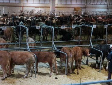 Bajada de los precios del ganado vacuno en Silleda