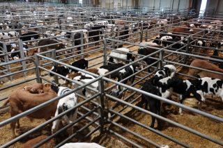 Bajada de los precios del ganado de recría Frisón en Silleda